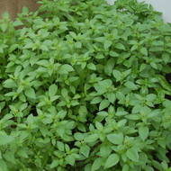 Buy Ocimum x citriodorum Basil, Lemon | Buy Herb Plant Online in 9cm Pot