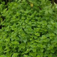 Buy Origanum onites Marjoram Pot | Herb Plant for Sale in 9cm Pot