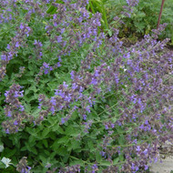 catmint