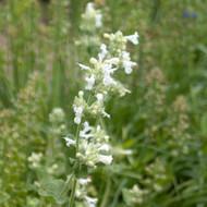 Buy Nepeta x faassenii 'Alba' Catmint White | Buy Herb Seeds Online