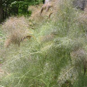 bronze fennel