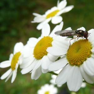 Buy Tanacetum parthenium, Feverfew | Buy Herb Seeds Online