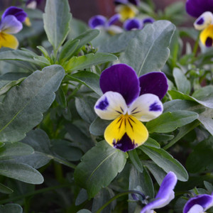 Buy Viola tricolor Heartsease | Herb Seeds for Sale