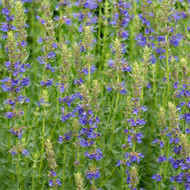 Buy Hyssopus Officinalis Blue Hyssop | Herb Seeds for Sale