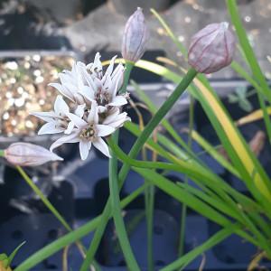 Allium senescens ( Fragrant flowered garlic chives) Herb Plant