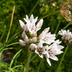 Allium ramosum | Fragrant-flowered Garlic Chives | Herbs online
