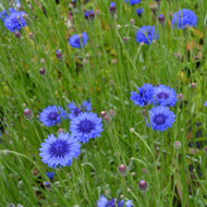 Buy Centaurea cyanus 'Cornflower Blue' | Buy Herb Plant Online in 9cm Pot