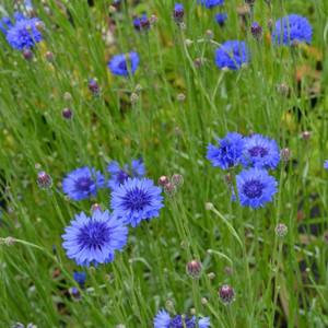 Buy Centaurea cyanus 'Cornflower Blue' | Buy Herb Plant Online in 9cm Pot