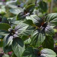 Buy African Blue Basil (Ocimum kilimandscharicum)   Herb Plants for Sale