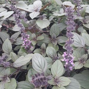 African Blue Basil (Ocimum kilimandscharicum)   Herb Plants for Sale
