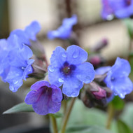 Buy Pulmonaria 'Blue Ensign' Lungwort | Herb Plant for Sale in 1 Litre Pot