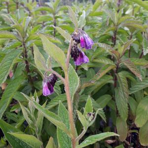 Symphytum x uplandicum 'Bocking 14'( Comfrey 'Bocking 14') Herb Plant