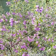 Prostanthera ovalifolium 'Variegata' | Australian Variegated Mint Bush