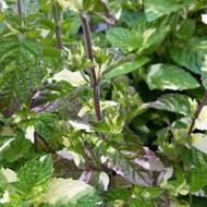 Buy NEW Mentha x piperita f. citata 'Variegated Grapefruit' (Variegated Grapefruit Mint) | Herb Plant for Sale in 9cm Pot