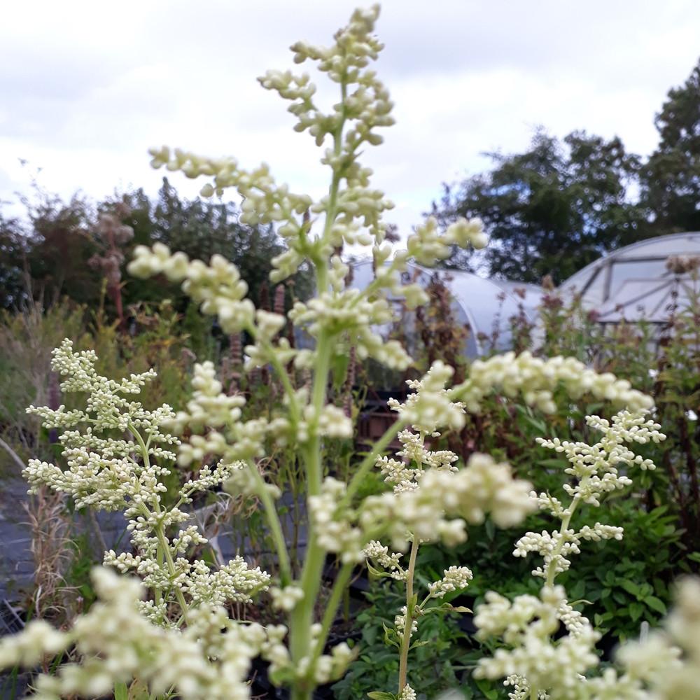 Artemisia lactiflora (Mugwort White) Herb Plant