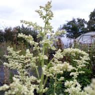 Artemisia lactiflora (Mugwort White) Herb Plant |  Herb plant for sale in 1 Litre Pot