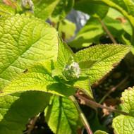Phlomis cashmeriana (Kashmir Sage) in bud | Buy Herb Plant Online