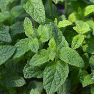 Buy Strawberry Mint | Herb Plants for Sale