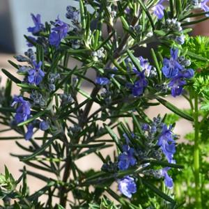 Rosmarinus officinalis prostratus group 'Boule' (Rosemary 'Boule') Herb Plant