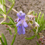 Rosmarinus officinalis 'Blue Lagoon' | Rosemary Blue Lagoon | Rosemary Herb Buy Online