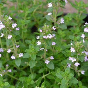 Buy Thymus x citriodorus 'Lime' Thyme Lime | Herb Plant for Sale in 9cm Pot