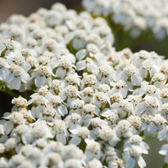Buy Achillea millefolium 'Common Yarrow' Yarrow Common | Buy Herb Plant Online in 1 Litre Pot
