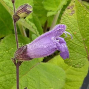 Salvia przewalskii | Blue Flower | Herbs Online
