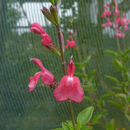 Salvia greggii 'Rose Pink' | Autumn Sage 'Rose Pink' | Herb Plants Online