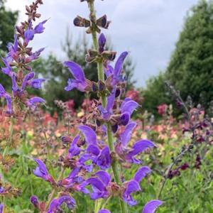 Salvia transylvanica close-up of flowers | Blue Flowers | Herbs online