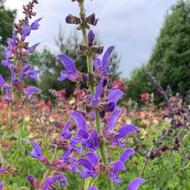 Salvia transylvanica close-up of flowers   Blue Flowers   Herbs online