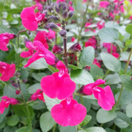 Buy Salvia sp. 'Annabel' Sage Annabel | Herb Plant for Sale in 1 Litre Pot