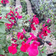 Buy Salvia 'Jackson's Cassis' (Sage 'Jackson's Cassis') | Herb Plant for Sale in 1Litre Pot