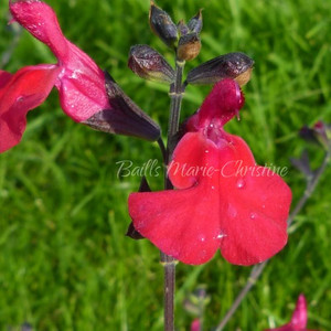 Salvia 'Jackson's Yo Yeo' | Jackson Salvia Collection | Herb Plant