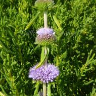 Mentha cervina | Harts Pennyroyal | Herb Plant