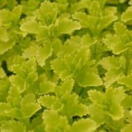 Buy Teucrium chamaedrys 'Summer Sunshine' Germander Summer Sunshine   Herb Plant for Sale in 1 Litre Pot