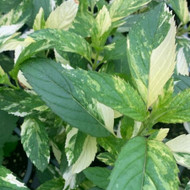 Mentha x piperita Variegata close up |Herb Plant for sale Online