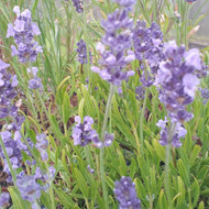 Lavandula angustifolia 'Melissa Lilac' |Lavender 'Melissa Lilac'| Herb Plant for sale in 1 Litre Pot