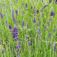 Lavandula angustifolia 'Peter Pan' (Lavender 'Peter Pan') | Herb plant for sale online