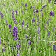 Lavandula angustifolia 'Peter Pan' (Lavender 'Peter Pan')   Herb plant for sale online