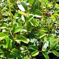 Sanguisorba ' Tanna' ( Burnet ' Tanna') Herb plant   Herb plant for sale in 9cm Pot