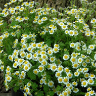 Buy Tanacetum 'Malmsbury 'Feverfew | Herb Plant for Sale in 1 Litre Pot