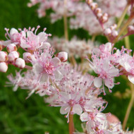 Filipendula ulmaria pupurea(Pink Meadowsweet)| Herb Plant for sale in 1 Litre Pot