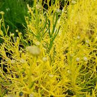 Santolina rosmarinifolia 'Lemon Fizz'(Cotton Lavender'Lemon Fizz')|Herb Plant for sale in 1 Litre Pot