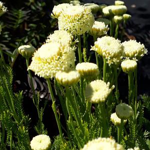Buy Santolina etrusca (Etruscan Cotton Lavender)| Herb Plant for Sale in 1 Litre Pot