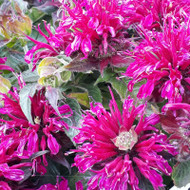 Monarda didyma 'Balmy Purple' (Bergamot 'Balmy Purple')|Herb Plant for Sale Online