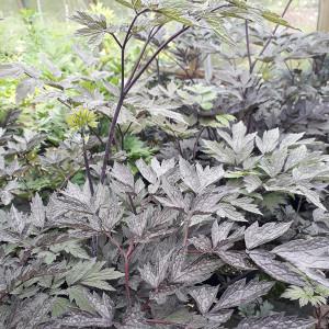 Actaea simplex 'Brunette' (Baneberry 'Brunette') | Herb Plant for sale in 1 Litre Pot