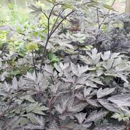 Actaea simplex 'Brunette' (Baneberry 'Brunette')  Herb Plant for sale in 1 Litre Pot
