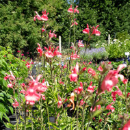 Buy Salvia microphylla 'Trelawny Rose Pink'   Buy Potted Herb Plants Online