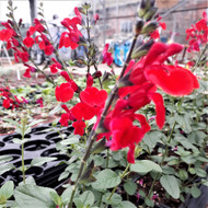 Buy Salvia x jamensis 'Royal Bumble' (Sage 'Royal Bumble') Herb Plant | Herb Plant for Sale in 1 Litre Pot