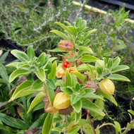 Buy Withania somnifera (Ashwagandha) Herb Tree | Herb Plant for sale in 1 Litre Pot